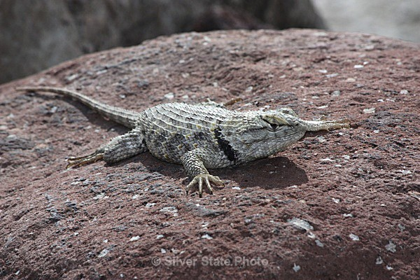 Backyard Lizard - 'Wildlife' (Big & Small)