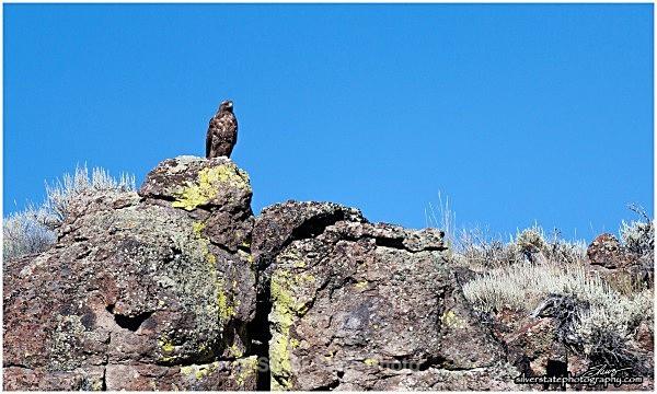 IMG_5606-1-web - Nevada Birds