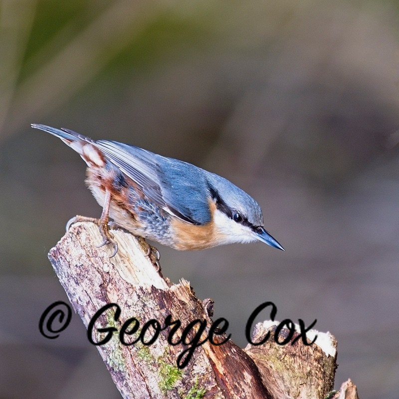 Nuthatch - Mapperley Woods