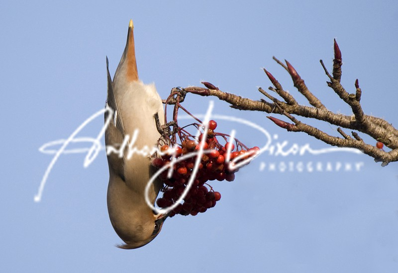 Waxwing - Latest Images