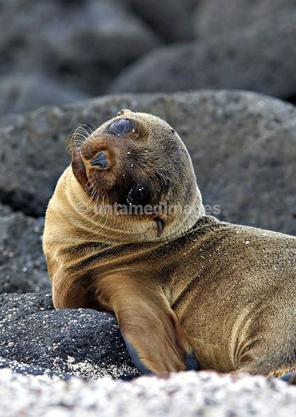 Galápagos Sea Lion pup - Galapágos