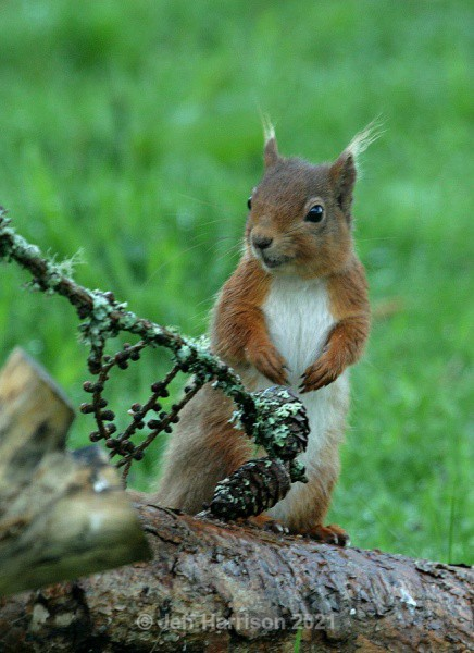 Red Squirrel (RS 03) - Mammals