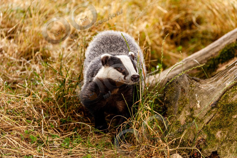 badger Meles meles-6106 - UK Wildlife