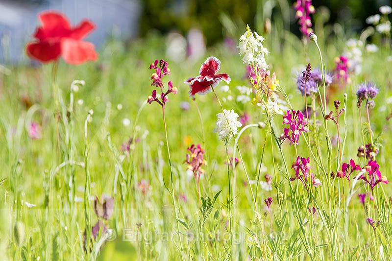Wild Flower Meadow-R1053 - Plants (Flora)