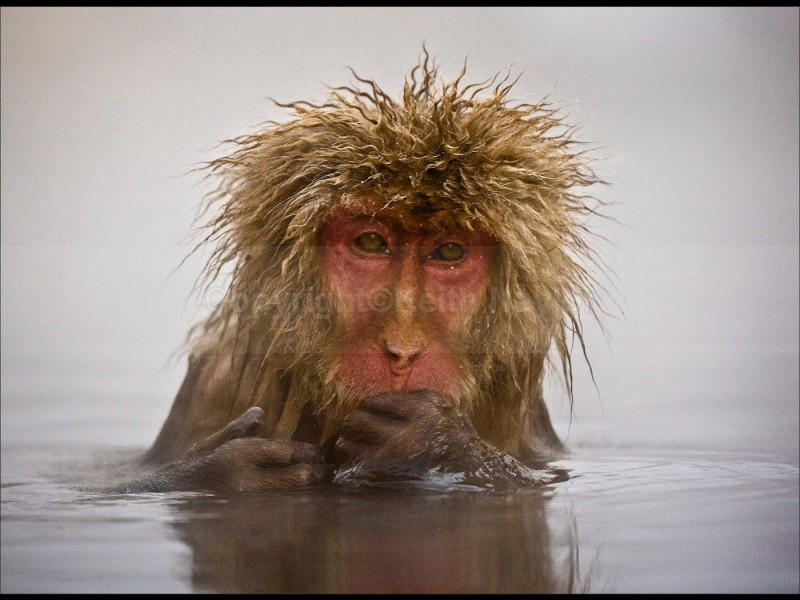 Japanese Macaque Bad Hair Day - 2010