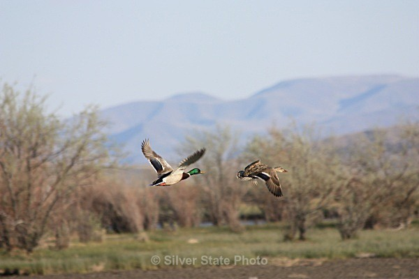 Mallard Pair - Nevada Birds