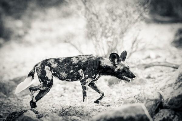 Wild Dog, Samburu, Kenya
