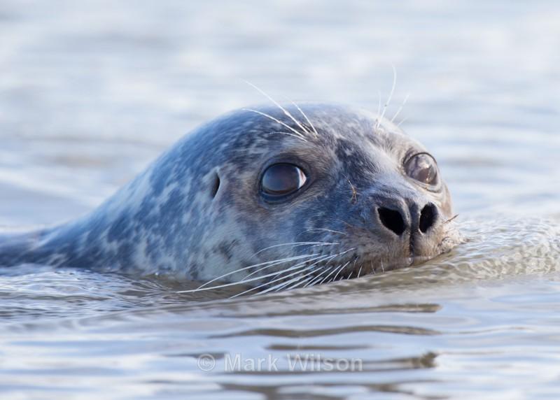 Common Seal - Animals