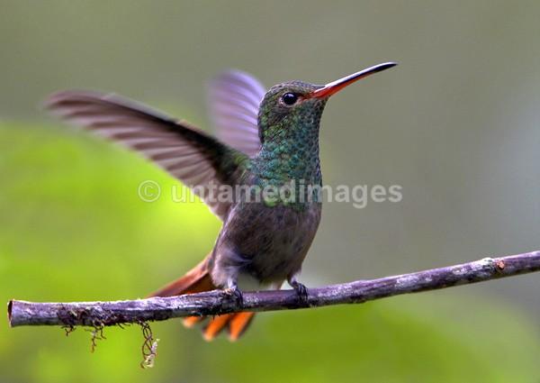 Rufous-tailed Hummingbird 4 - Galapágos