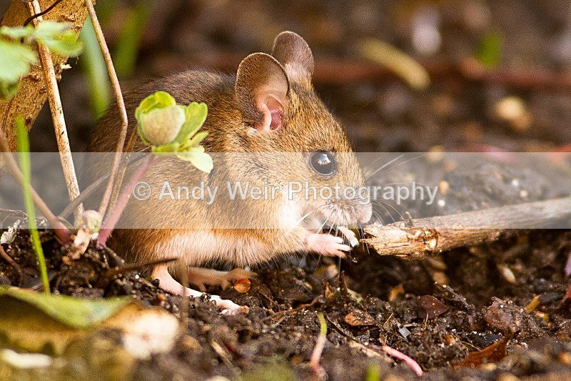 20120115-_MG_8267 - Wood Mouse