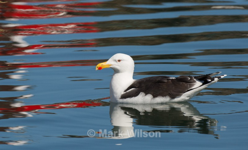 Gt Black-backed Gull with boat reflections - Crail - Seabirds