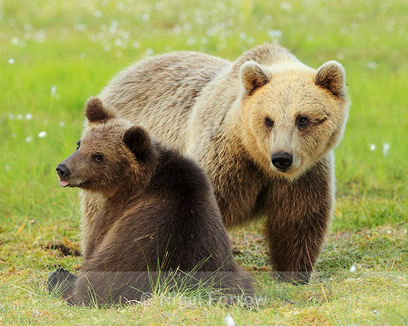 Mother Brown Bear and yearling cub at Martinselkonen - Brown Bear