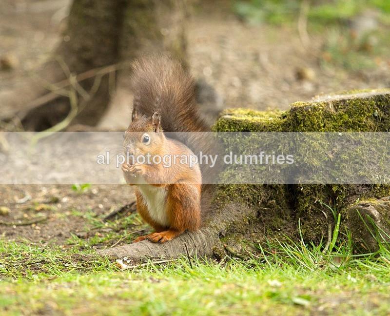 Red Squirrel 5 (disambiguation). - Eskrigg Nature Reserve Lockerbie