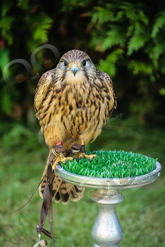 Kestrel Kee-kee - Our Birds