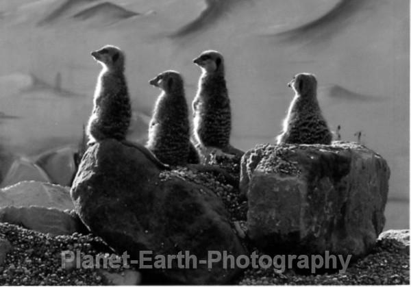 Meerkats United - Around The World