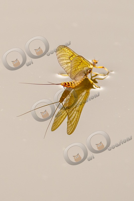 mayfly-4791 - Insects from around the world