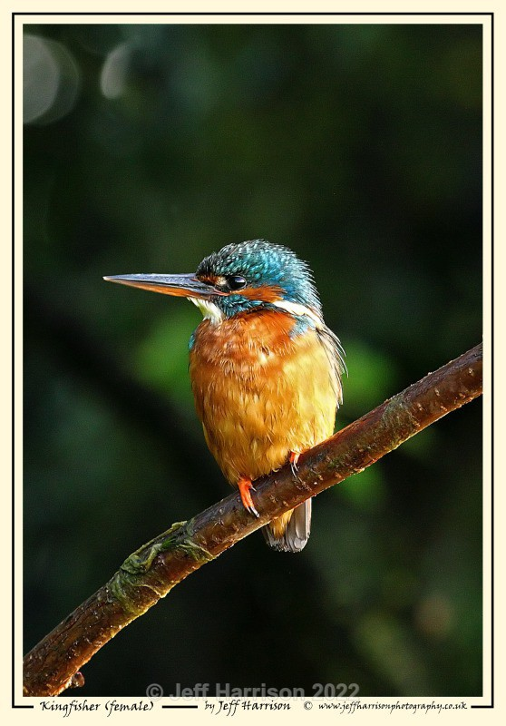 'Kingfisher (female)' - Image Kf 007 - Kingfishers