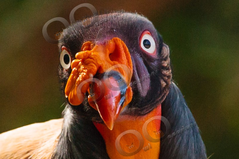 king vulture  sarcomamphus papa-1010 - BoP from around the world