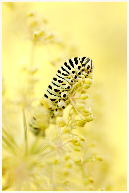 Swallowtail Caterpillar on Milk Parsley  - Latest Work