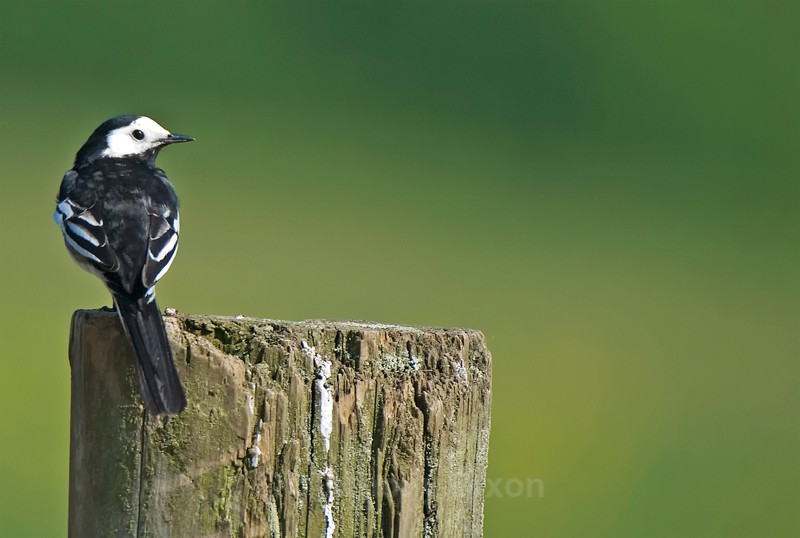 Pied Wagtail - Latest Images