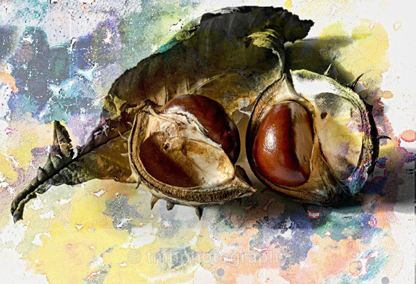 Conker in Patel Colour - Still Life