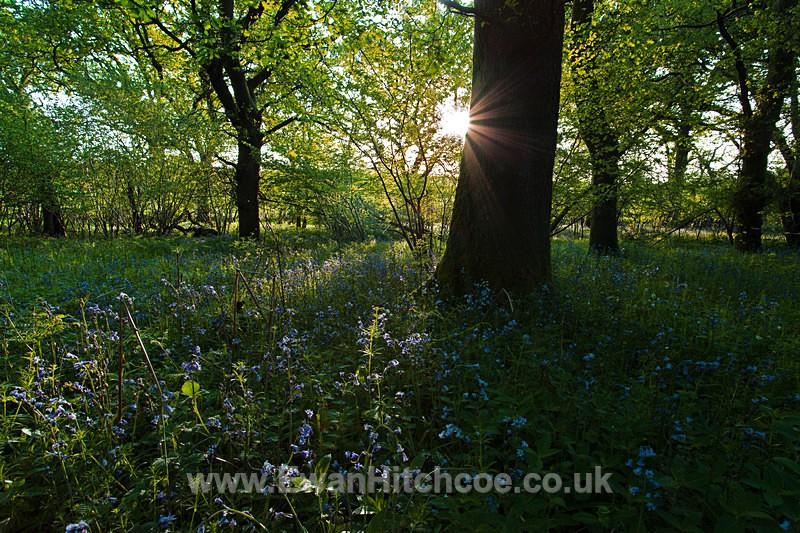 Sun ray Bluebells - English Woodland - Landscapes
