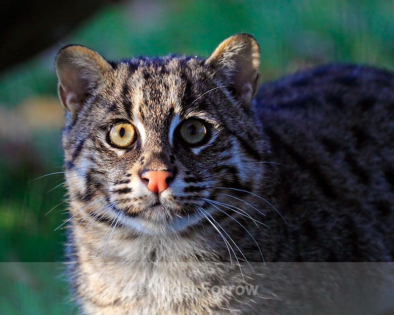 Close-up of Fishing Cat (female) - Cats, Various