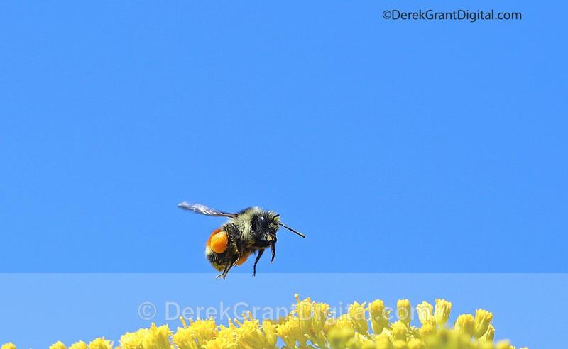 Bombus ternarius in Flight - Bees, Beetles, Bugs