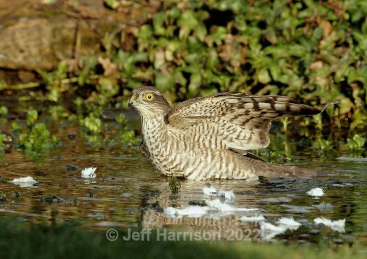 Sparrowhawk drowning a dove (image Spar 02) - Sparrowhawks