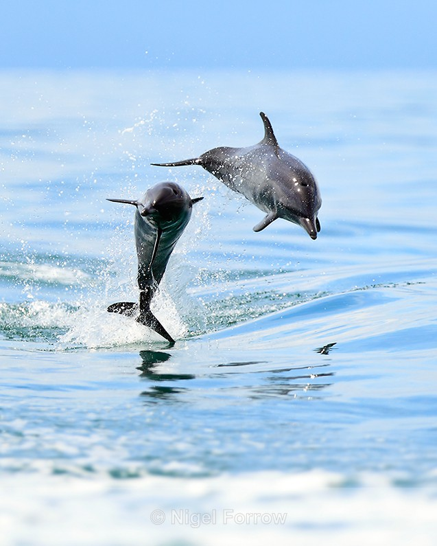 Two Spotted Dolphins jumping in the Gulf of Dulce - Dolphin