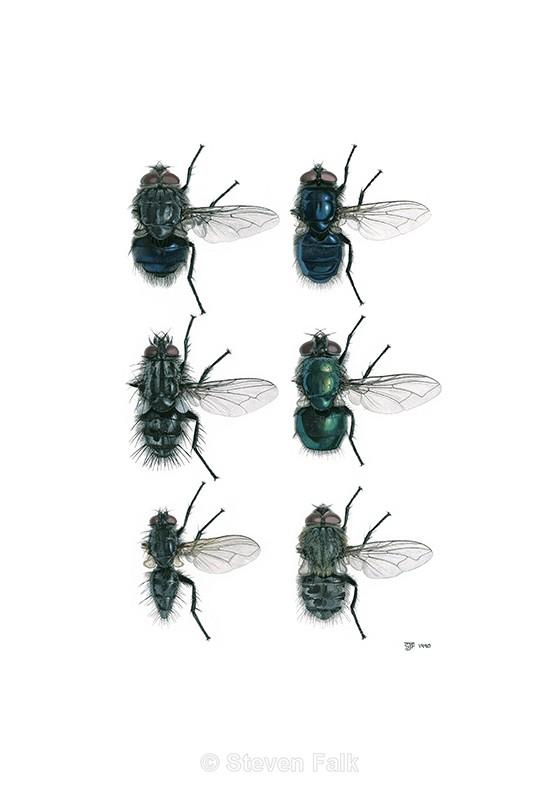 Blowflies - Flies