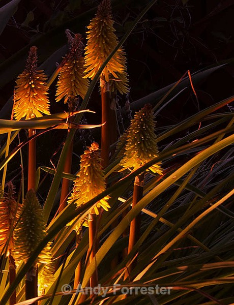 Red hot Poker - Low Light Flowers