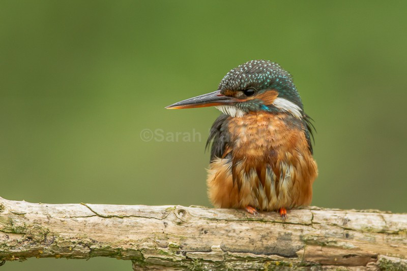 Kingfisher - Along the Norfolk Rivers