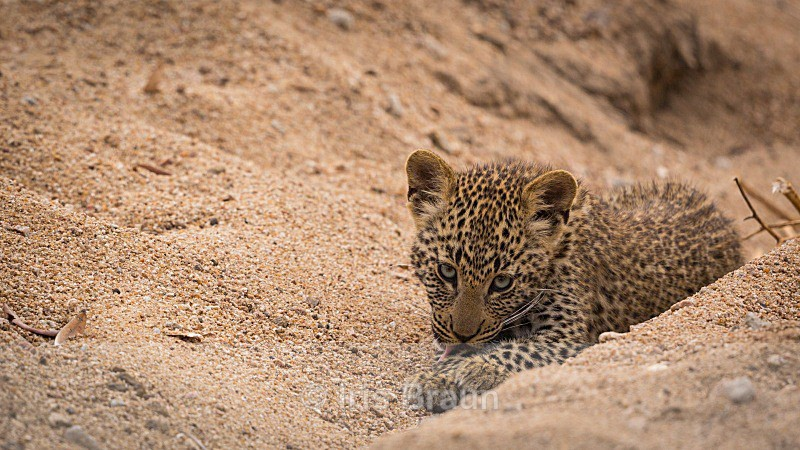 Untitled - Leopard