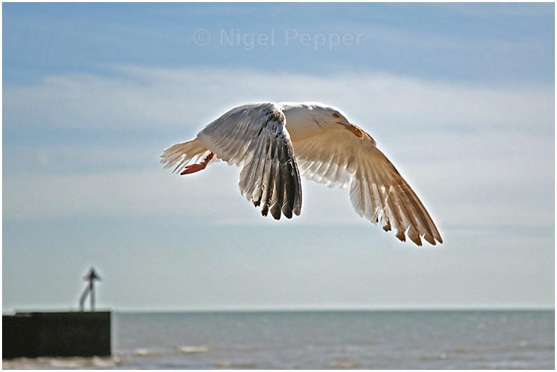Leggy in Flight - Leggy the Herring Gull