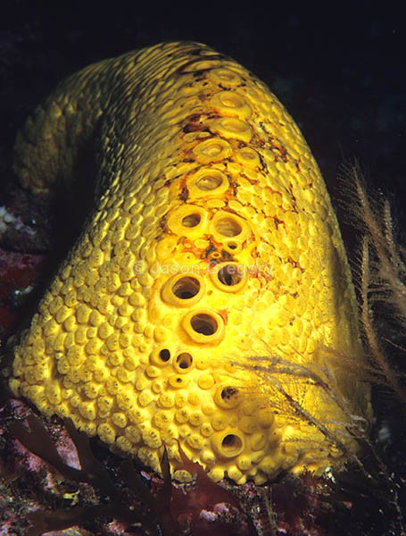 Cliona celata - Sponges (Porifera)