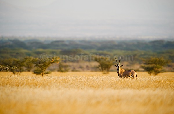 Oryx Shaba, Kenya