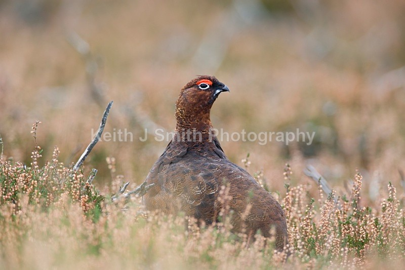 Red Grouse.YR6M4946 (RM) - Red Grouse.