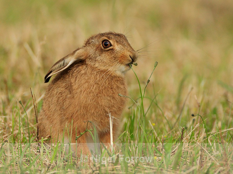 Leveret eating grass, Otmoor RSPB - Hare