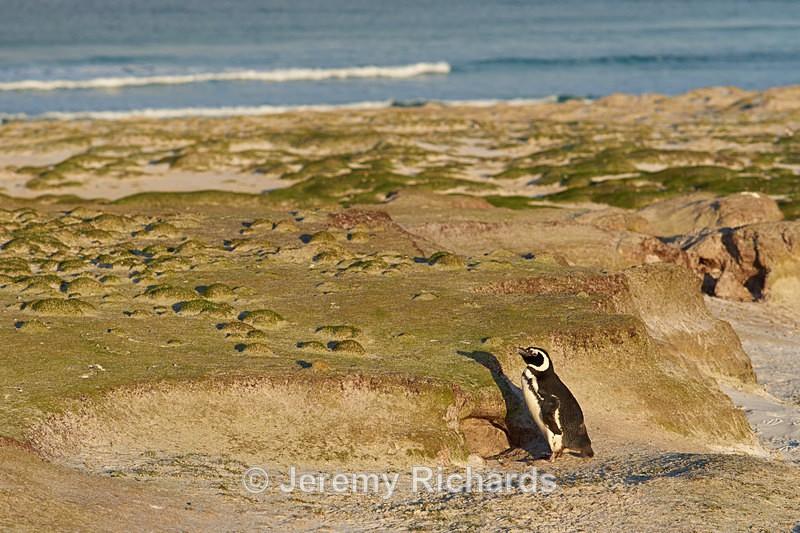 Magellanic Penguin - Volunteer Point