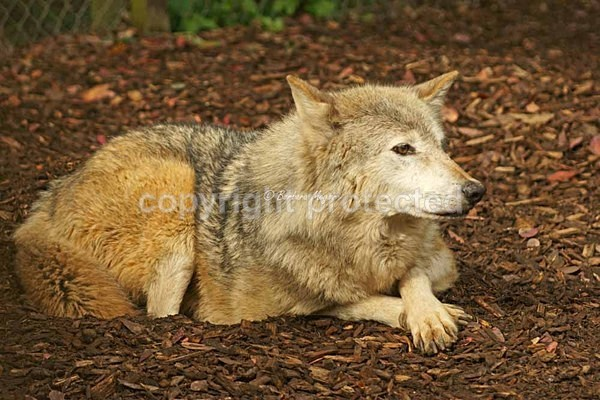 Grey Wolf - Missoula with crossed paws (Colchester Zoo) - Smaller Cats & Other Wildlife - Wolves