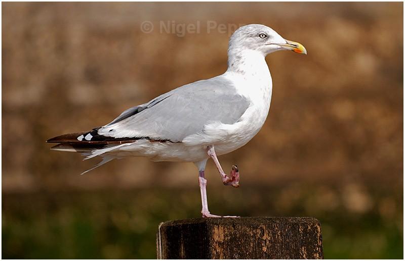 September 12th 2007 - Leggy the Herring Gull