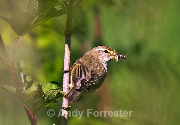 Willow Warbler - Birds