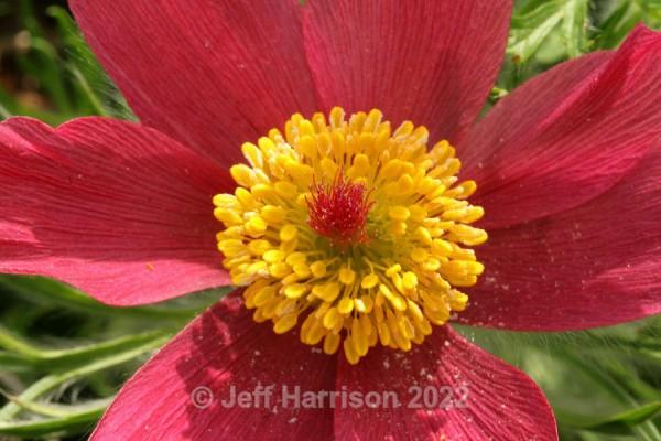 Pulsatilla - Red (image Puls 01) - Trees, Plants, Flowers & Garden scenes