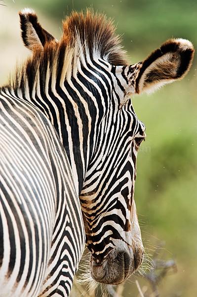 Grevy's Zebra Samburu, Kenya
