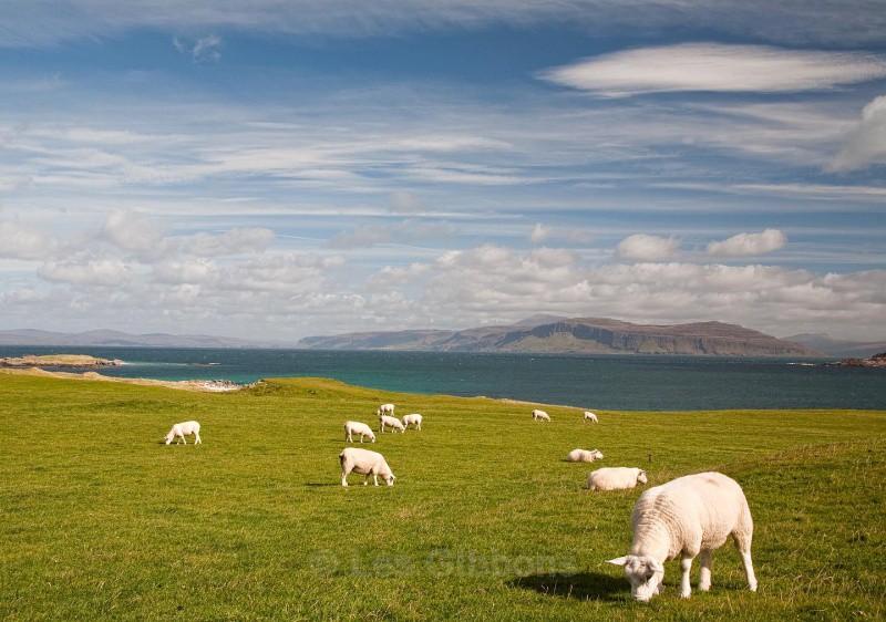 iona sheep - Mull and Iona