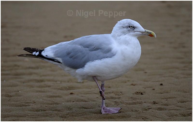 September 11th 2008 - Leggy the Herring Gull