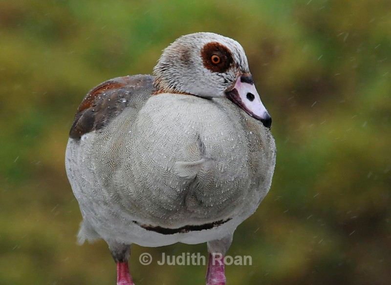 Egyptian Goose in rain - South Africa Birds and Mammals
