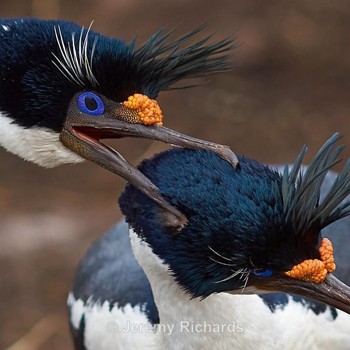 Imperial Cormorants - Saunders Island