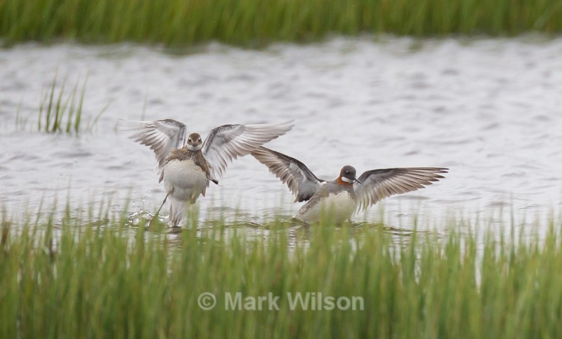 Red-necked Phalarope - The rest.....